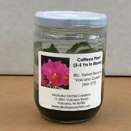 Rlc. Velvet Beauty 'Volcano Queen' Clone Mini Flask (5 Orchids/Flask)
