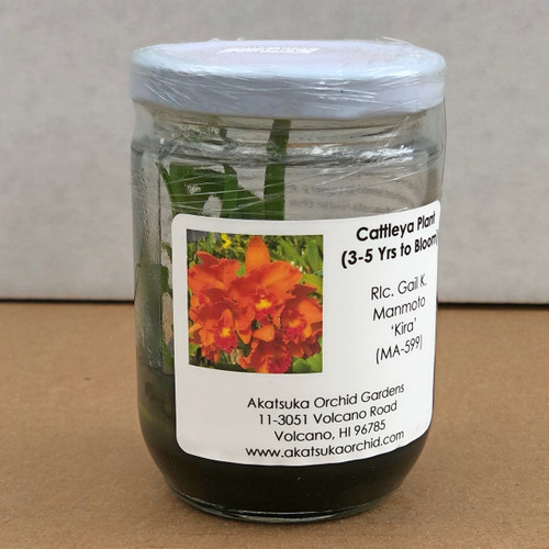 Rlc. Gail K. Manmoto 'Kira' Clone Mini Flask (5 Orchids/Flask)