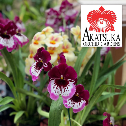 """Assorted Miltonia Variety- Open Bloom  GROWER'S CHOICE (4"""" Pot)"""