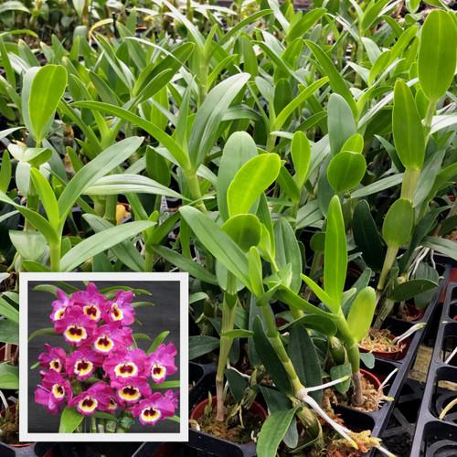 "Den. Nobile -- Red Emperor 'Prince' (2"" Pot -Plant Only)"