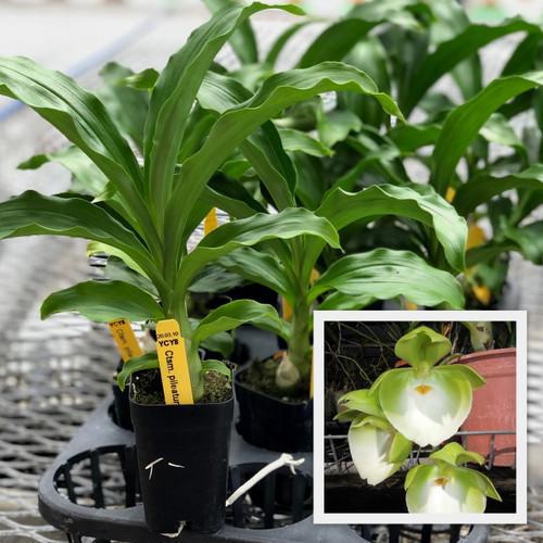 """Ctsm. pileatum 'Jumbo Green Gold' (Starter-2"""" Pot)"""
