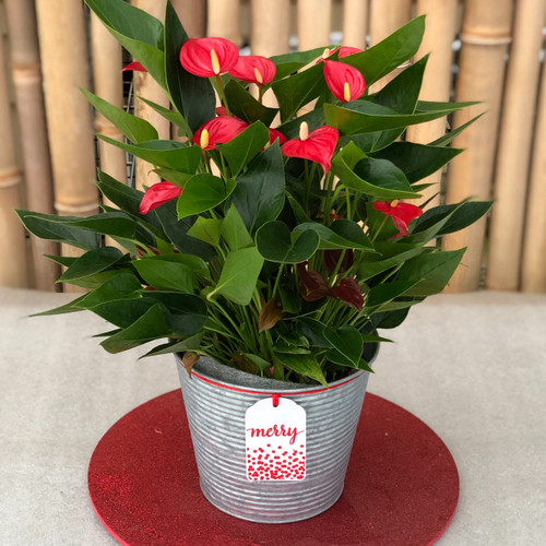 "Anth. Million Flowers Red Special (5.5"" Pot)"