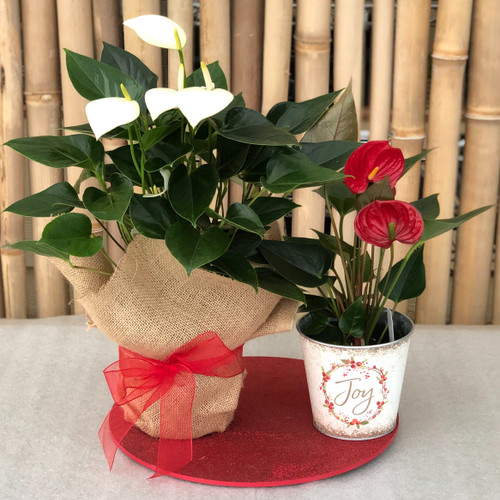 Peppermint Swirl Anthurium Special