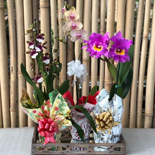 Holiday Magic Orchid Special