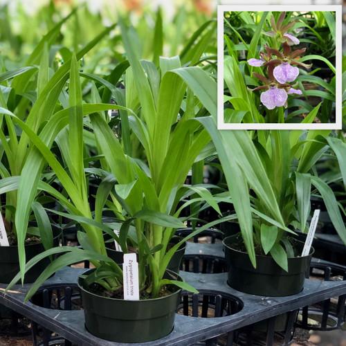 Zygopetalum triste (Plant Only-species)
