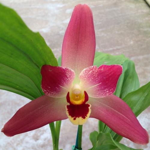 "Lysudamuloa Red Jewel  (Plant-Only) (4"" Pot)"