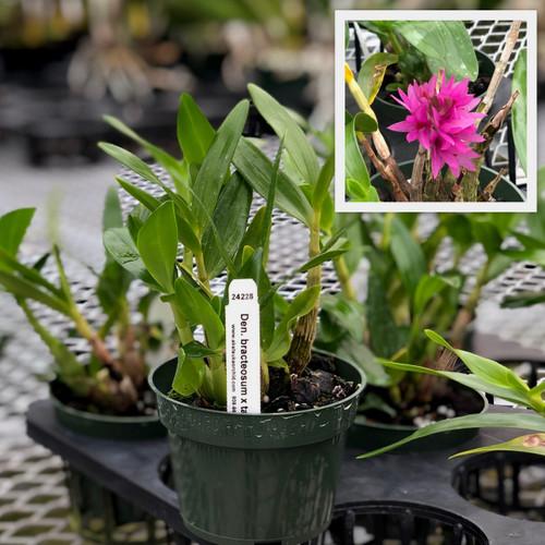 """Den. bracteosum x tanii (4"""" Pot-Plant Only)"""