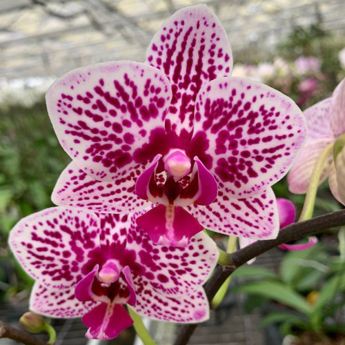 Dtps. Yu-Pin Burgundy '5049' (Mini Phal-Double Spikes)