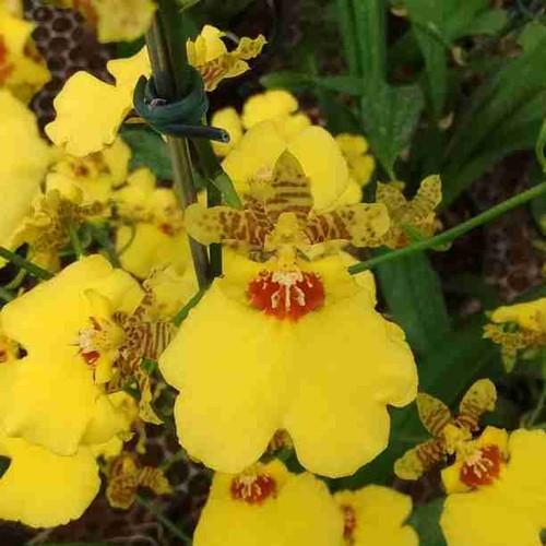 Onc. Aloha Iwanaga