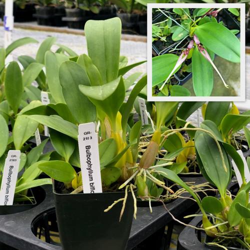 "Bulbophyllum biflorum (2.75"" Pot-Plant Only)"