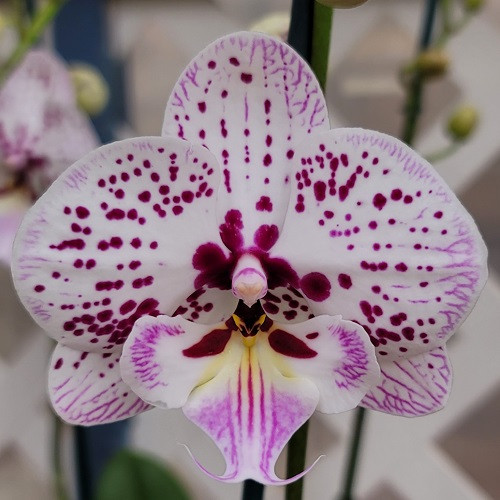 Phal. Expressions (Double Spike)
