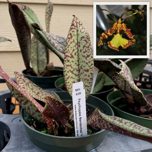 Pyps. Mendenhall 'Hildos' (Plant Only)