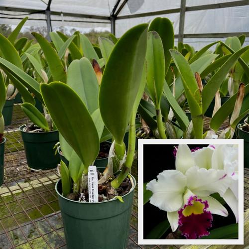 Rlc. Irene Creeden 'Volcano Queen' (Plant Only)