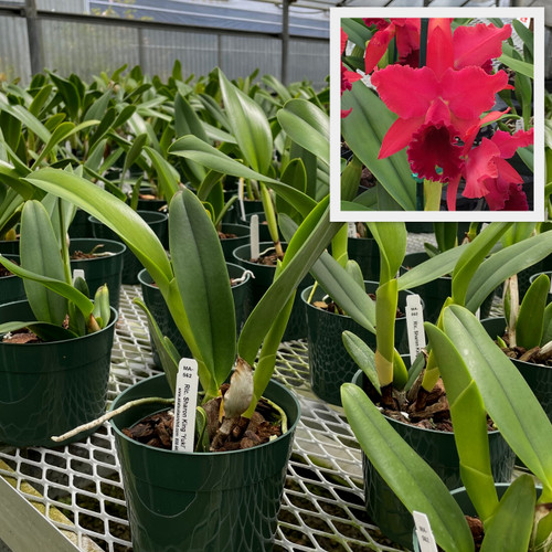 Rlc. Sharon King 'Yuki' (Plant Only)