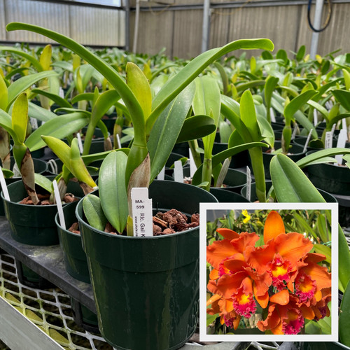 """Rlc. Gail K. Manmoto 'Kira' (Plant Only-5"""" Pot)"""