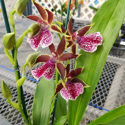 Galptm. Arlene Armour 'Conching' (First Bloom)
