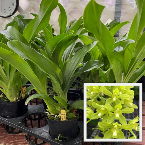 Gram.  scriptum 'JF3623' x Gram. scriptum citrinum 'Hihimanu' (Plant Only)