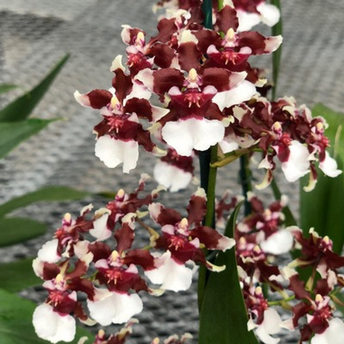 Onc. Heaven Scent 'Redolence' (Chocolate Orchid)