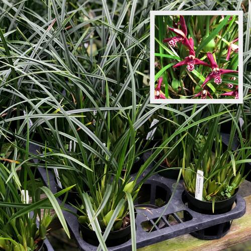 Maxillaria tenuifolia (Plant Only)