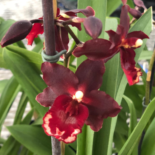 Wils. Pacific Lust 'Lady Chatterly'