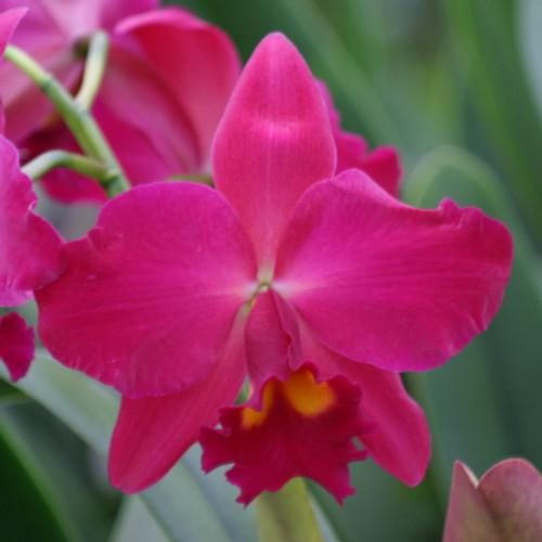 Rlc. Kozo's Scarlet 'Blumen Insel'