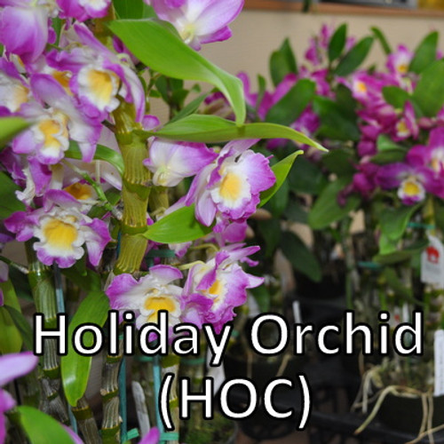 Holiday Orchid Club (6 Occasions)