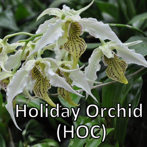 Holiday Orchid Club (12 Occasions)