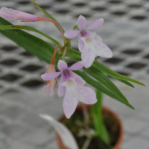 Epi. centradenium (Miniatures Species)