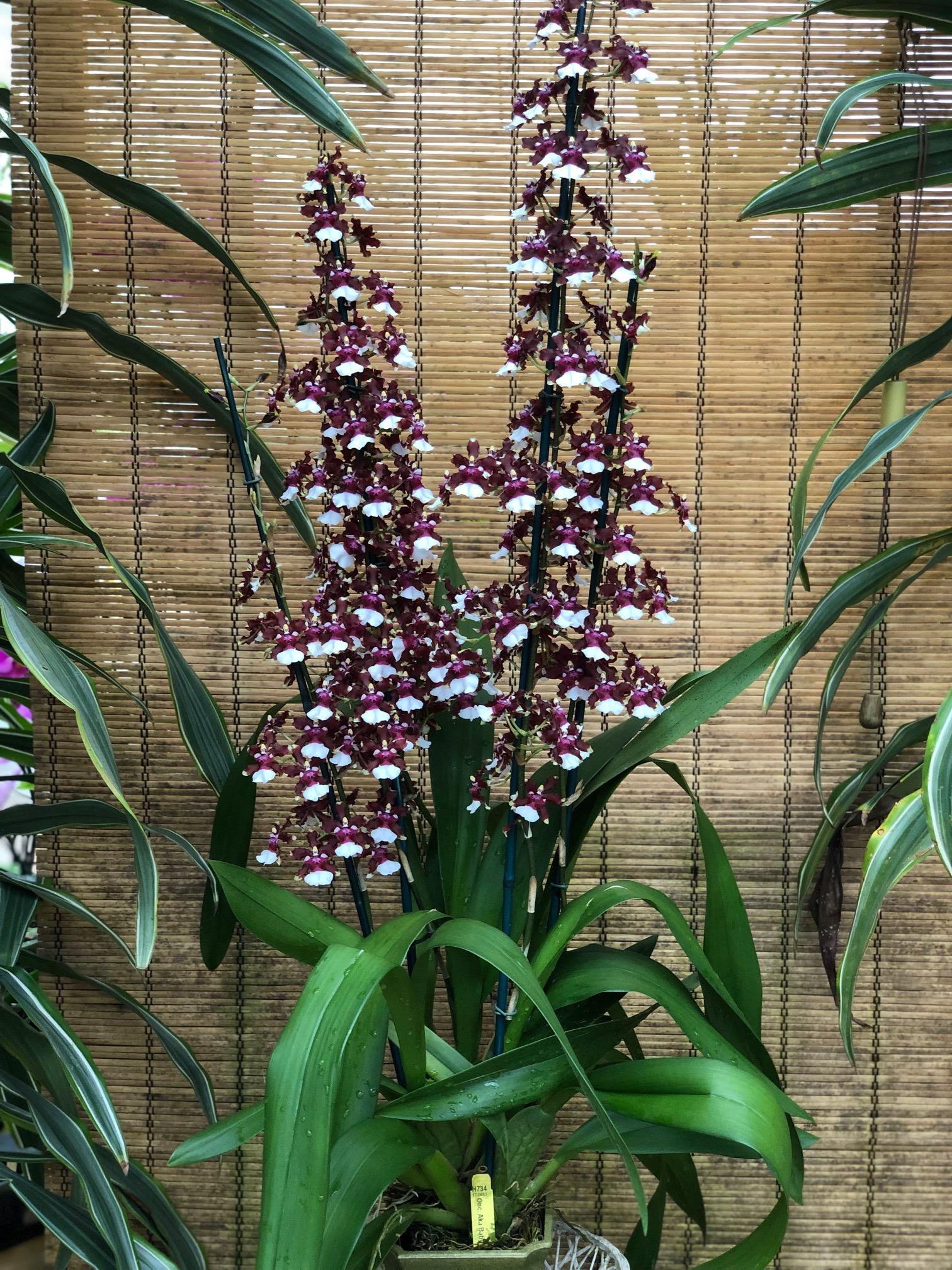 chocolate-orchid-premium.jpg