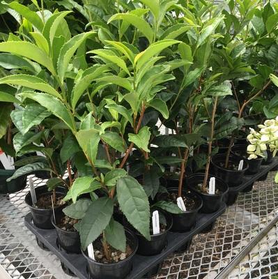 tea-plant.jpg