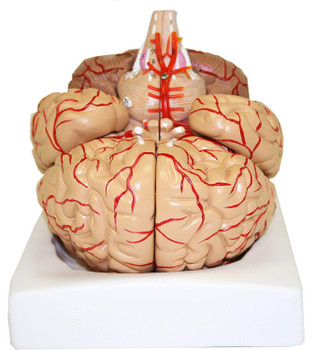 B10443 Walter Products Deluxe Brain Model w/ Arteries, 9 Parts (Each of  1)