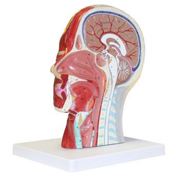 B10442 Walter Products Human Brain Models Half Head Model with Musculature Each of  1