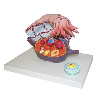 B10451 Walter Products Human Ovary Model Human Ovary Model Each of  1