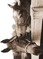 Horses Nuzzling Birthday Card