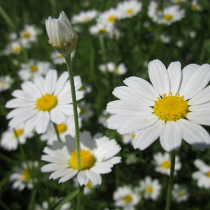 Chamomile Flowers,  whole 1/2 oz