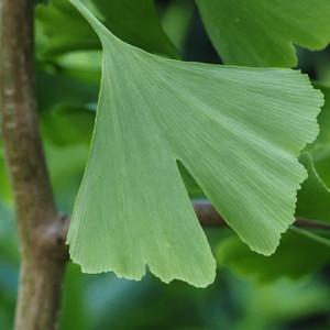 Ginkgo Leaf,  c/s 1 oz