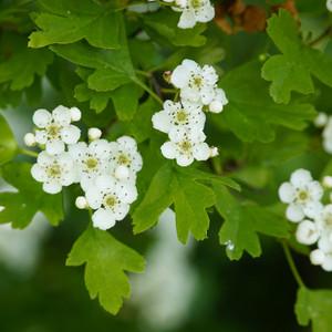 Hawthorn Leaf & Flower, c/s 1 oz