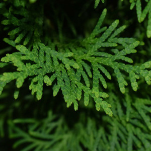 Juniper Leaf,  c/s 1.5 oz