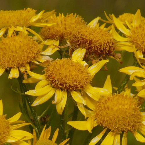 Arnica Flowers whole 1/2 oz