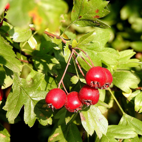 Hawthorn Berry, whole 1 oz