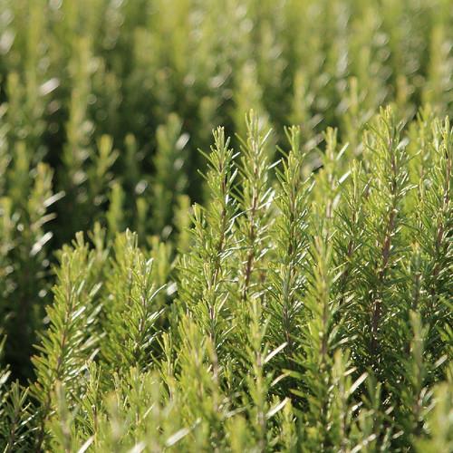 Rosemary Leaf,  whole 1 oz