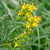 agrimony-flower-5349520_1920 -- Image by TheOtherKev from Pixabay