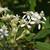 tall-boneset-2662892_1920--Image by Jan Haerer from Pixabay