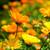 Calendula Flowers whole 1/2 oz