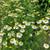 Chamomile Flowers,  whole 1/2 oz