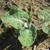 Coltsfoot Leaf, c/s 1/2 oz