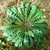 Dandelion Leaf, c/s 1 oz
