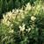 Meadowsweet,  c/s 1 oz