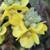 Mullein Leaf,  c/s 1/2 oz