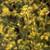 Mustard Seed Black,  whole 1 oz